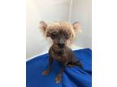 Adopt Chewy a Chinese Crested / Mixed dog in Logan, UT (25892719)