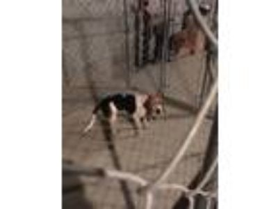 Adopt Poppy a White - with Brown or Chocolate Beagle / Mixed dog in Fostoria