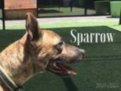 Adopt Sparrow a Catahoula Leopard Dog, Bull Terrier