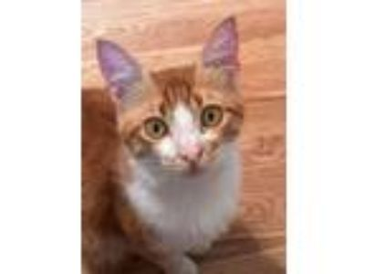 Adopt Seth a Turkish Angora cat in Marion, CT (25319744)