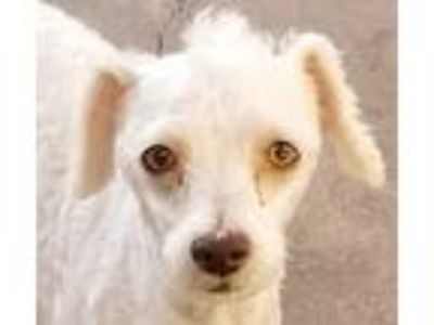 Adopt Xander a White Poodle (Miniature) / Havanese / Mixed dog in Oakley