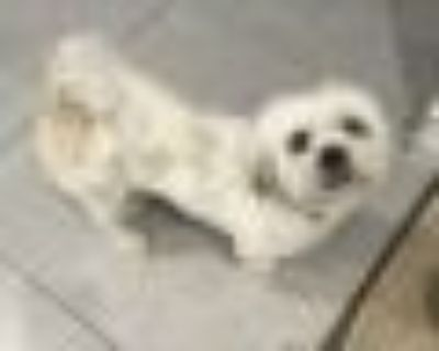 Youchy Shih Tzu Dog