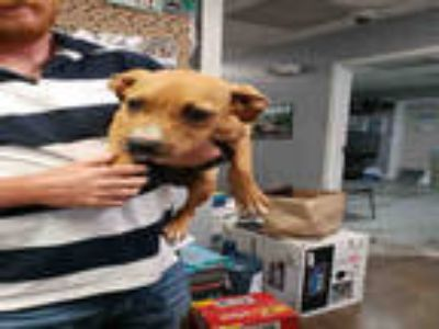 Adopt CASSIE a Brown/Chocolate - with White Labrador Retriever / Mixed dog in