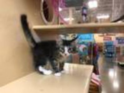 Adopt Jonas a Domestic Short Hair
