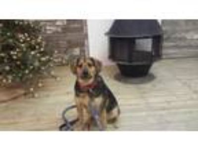 Adopt Cooper a Beagle, German Shepherd Dog