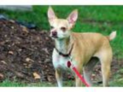 Adopt Clairee a Rat Terrier