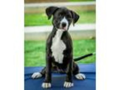 Adopt Lola a Black - with White Pit Bull Terrier / Mixed dog in Charlotte
