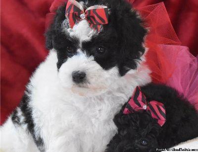 Loving Maltipoo Puppies for Sale Lisa