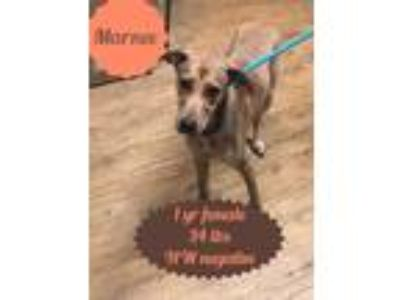 Adopt Marnee a Red/Golden/Orange/Chestnut Labrador Retriever / Plott Hound /