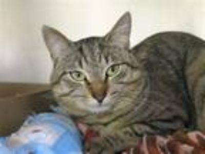 Adopt Tom a Domestic Shorthair / Mixed (short coat) cat in Staten Island