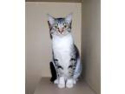 Adopt Gracie 6078 a Brown Tabby Domestic Shorthair / Mixed (short coat) cat in