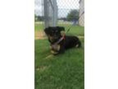 Adopt Ruger-Siloam Springs a Border Collie
