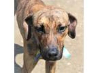 Adopt Greedy a Plott Hound, Mixed Breed