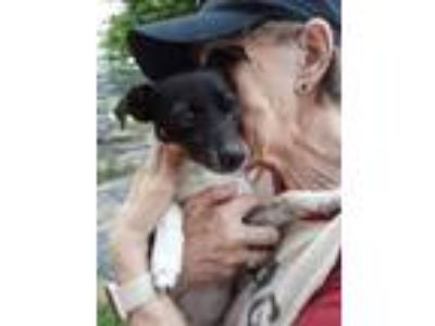 Adopt Tobey a Rat Terrier, Beagle