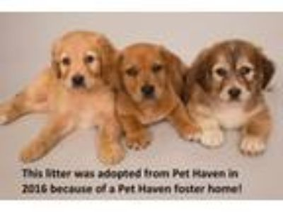 Adopt Twin Cities Puppy Fosters Needed! a Shepherd, Retriever