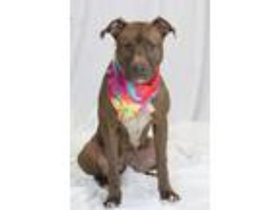 Adopt 41950454 a Pit Bull Terrier, Mixed Breed