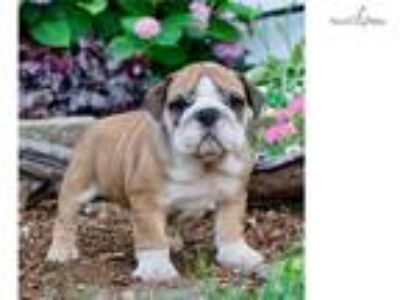 Vivian Akc English Bulldog Super Nice!