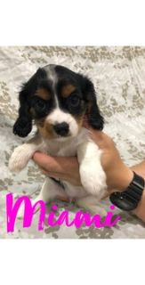 Cavalier King Charles Spaniel PUPPY FOR SALE ADN-88007 - ACA Cavalier King Charles Spaniel