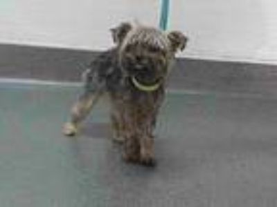 Adopt 20-00799 a Yorkshire Terrier