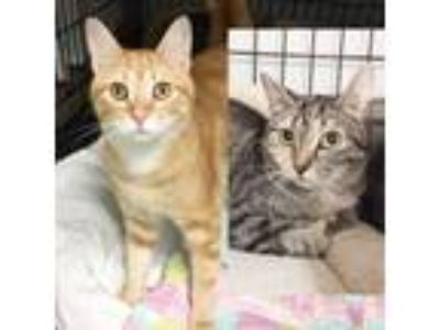 Adopt Jan and Cindy a Domestic Short Hair