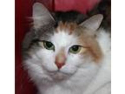 Adopt Lucy a Domestic Medium Hair, Domestic Short Hair