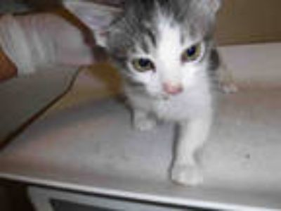 Adopt a White (Mostly) Domestic Shorthair / Mixed (short coat) cat in Long