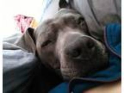Adopt Sky ***URGENT*** a Pit Bull Terrier