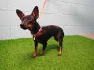 Adopt PEANUT a Black - with Tan, Yellow or Fawn Miniature Pinscher / Mixed dog