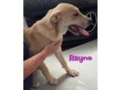 Adopt Rayne a Great Pyrenees, Shepherd