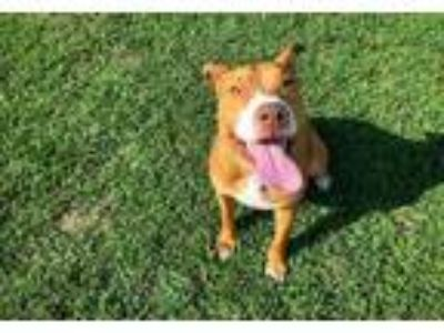 Adopt Goldfish a Red/Golden/Orange/Chestnut Mixed Breed (Large) / Mixed dog in