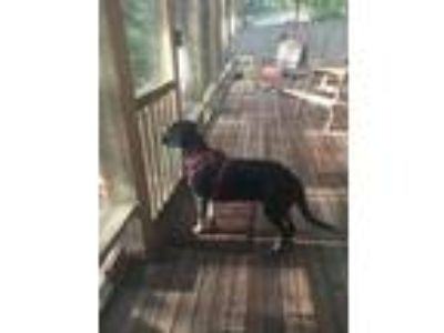 Adopt Bella a Black - with Brown, Red, Golden, Orange or Chestnut Hound (Unknown