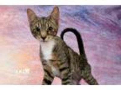 Adopt Woodstock a Domestic Short Hair