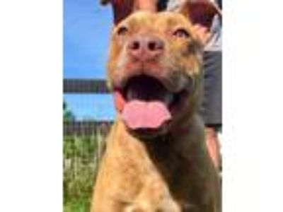 Adopt Ducky a Red/Golden/Orange/Chestnut American Pit Bull Terrier / Mixed dog