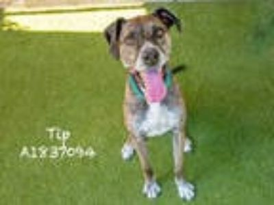 Adopt TIP a Brindle - with White Mixed Breed (Medium) / Pointer / Mixed dog in