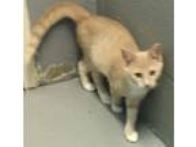 Adopt Pecan-Not at the Shelter a Domestic Short Hair