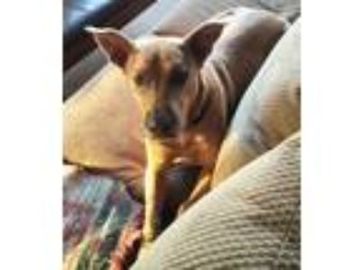 Adopt Elsie Rose a Basenji, Carolina Dog