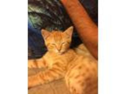 Adopt Oliver a Tiger Striped Domestic Shorthair / Mixed cat in Urbana