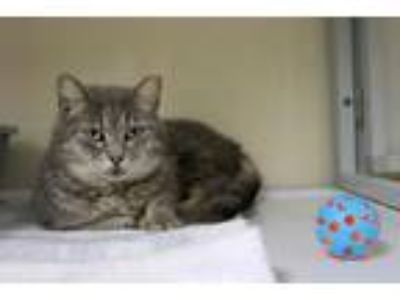 Adopt Lavender Sky a Domestic Shorthair / Mixed (short coat) cat in Raleigh