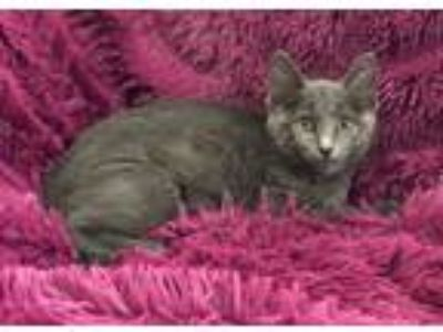 Adopt ANASTASIA - PLAYFUL AND SWEET!! a Russian Blue, Domestic Short Hair