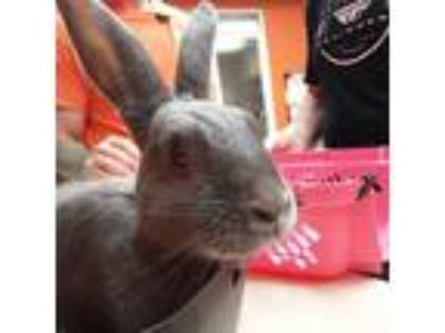 Adopt Annie a Other/Unknown / Mixed rabbit in Westminster, CA (25280178)