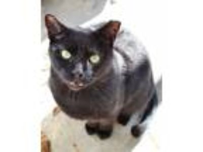 Adopt Ajax a Domestic Short Hair