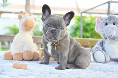 French Bulldog PUPPY FOR SALE ADN-104617 - Blue Brindle Male Pockets