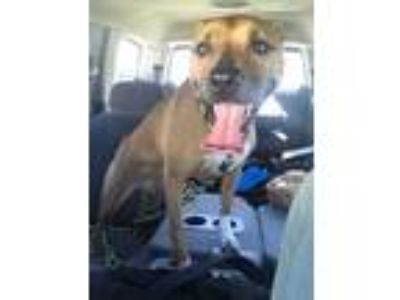 Adopt Honey a Brown/Chocolate - with White Black Mouth Cur dog in Kissimmee
