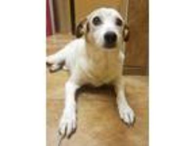 Adopt Finley a White Jack Russell Terrier / Mixed dog in Fort Worth
