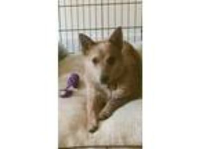 Adopt Pax a Australian Cattle Dog / Blue Heeler