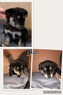 Goberian PUPPY FOR SALE ADN-65189 - WebbSide Puppy Kennel