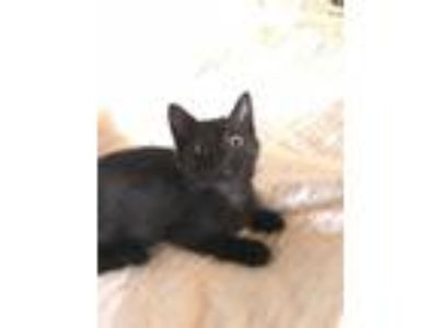 Adopt Koda a All Black Domestic Shorthair / Mixed (short coat) cat in Irvine