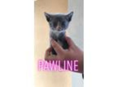 Adopt Pauline a Gray or Blue (Mostly) Domestic Shorthair / Mixed cat in MCLEAN