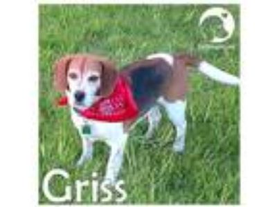 Adopt Griss a Tricolor (Tan/Brown & Black & White) Beagle / Mixed dog in