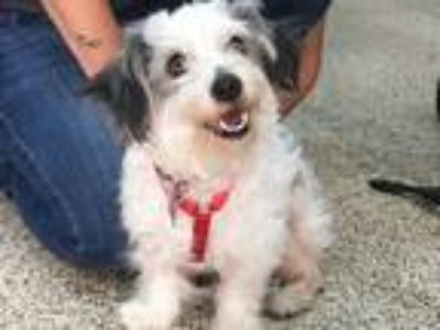 Adopt Badger a White - with Black Schnauzer (Miniature) / Poodle (Miniature) /
